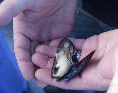 These mussels are native to the Puget Sound. When searching for a place to farm oysters in 1975, they found these already growing.
